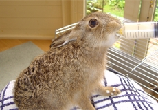 leveret 12 - 14 days old