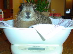 leveret being weighed
