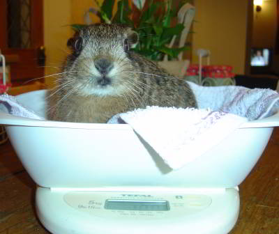 leveret being weighed in kitchen scales